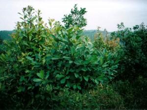 MATE-YERBA MATE-Ilex paraguariensis